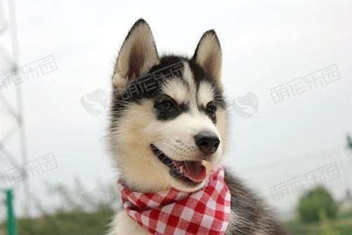 西伯利亚雪橇犬应该如何训练?